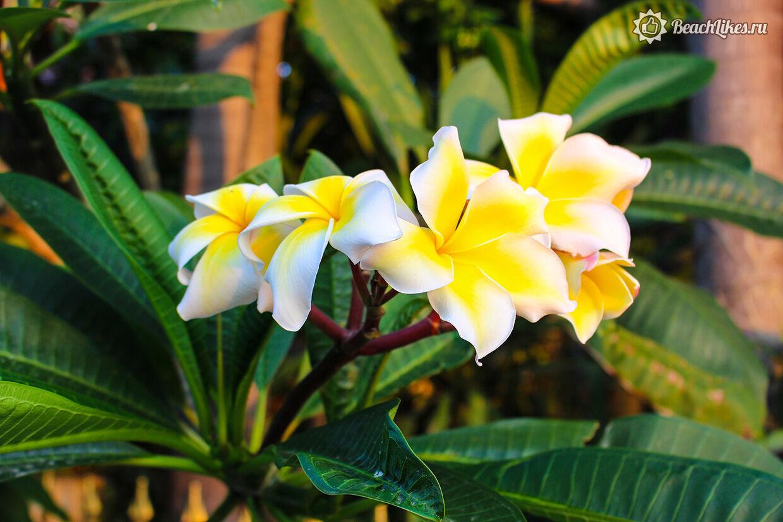 Сезон цветения на Бали